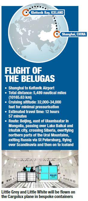 Flight of the beluga whales