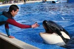 An orca is fed in captivity