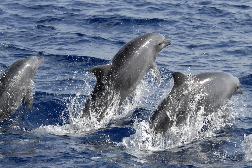 New research shows bottlenose dolphins turn to the right
