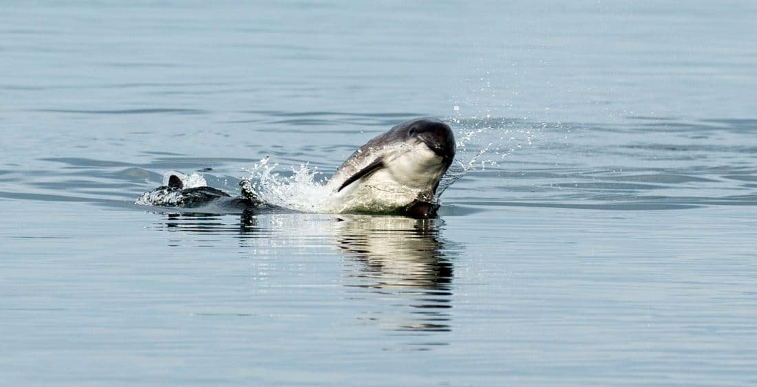 WDC funded research shows 'pingers' could save porpoises from fishing nets