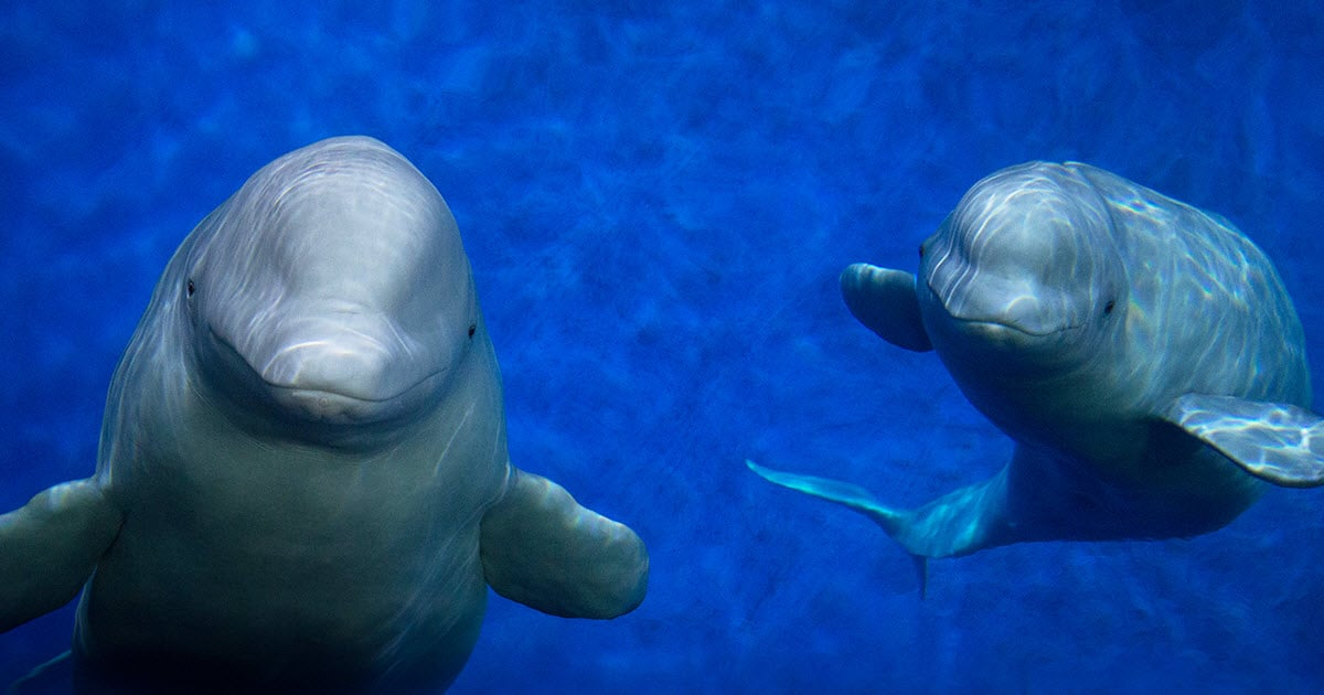 How you fly two beluga whales home to the ocean