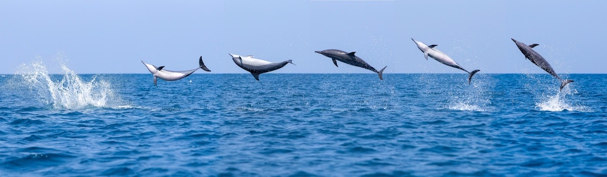 Spinner dolphins leap