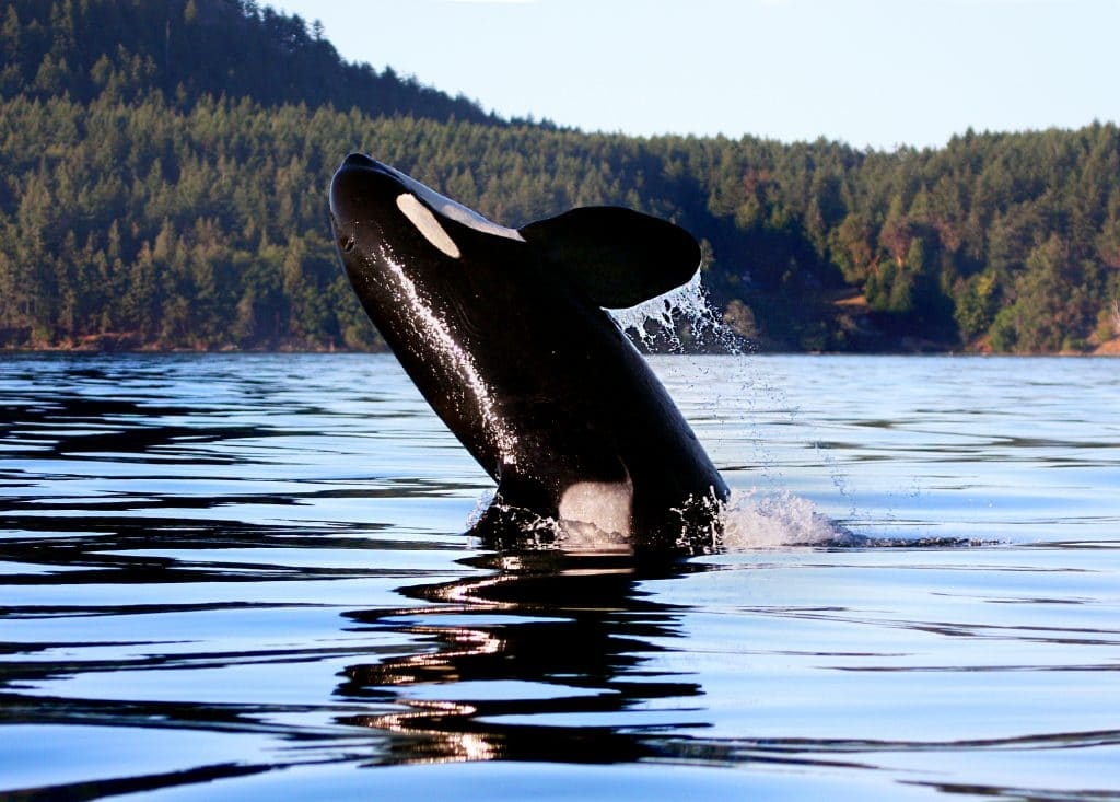 New babies bring hope for orcas on the edge of extinction