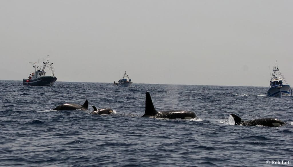 Mystery surrounds orca harassment of boats