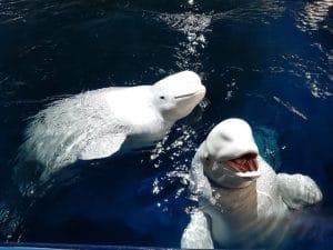 Beluga Whale Sanctuary winter update