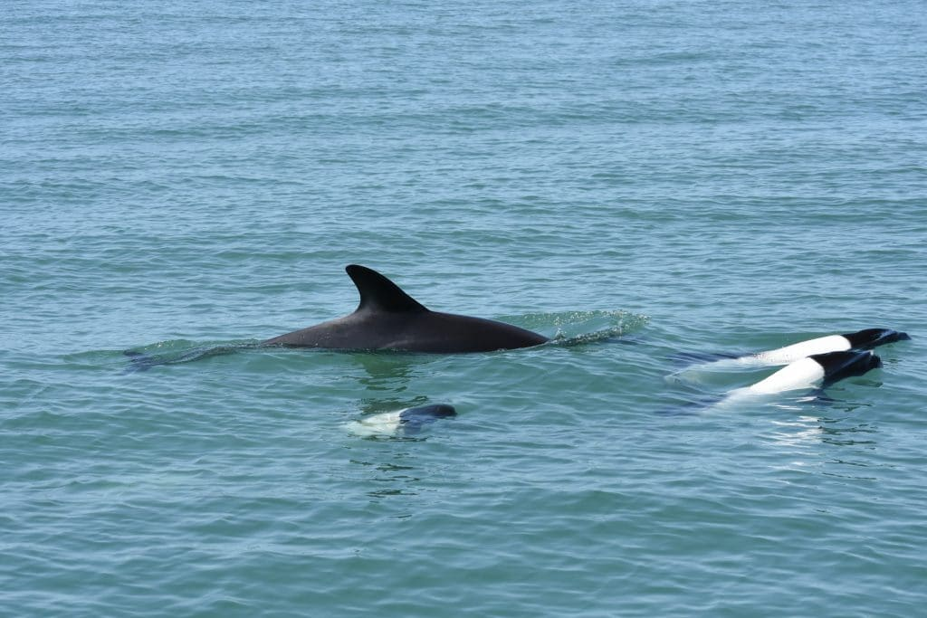 Peale's and Commerson's dolphins hanging out together