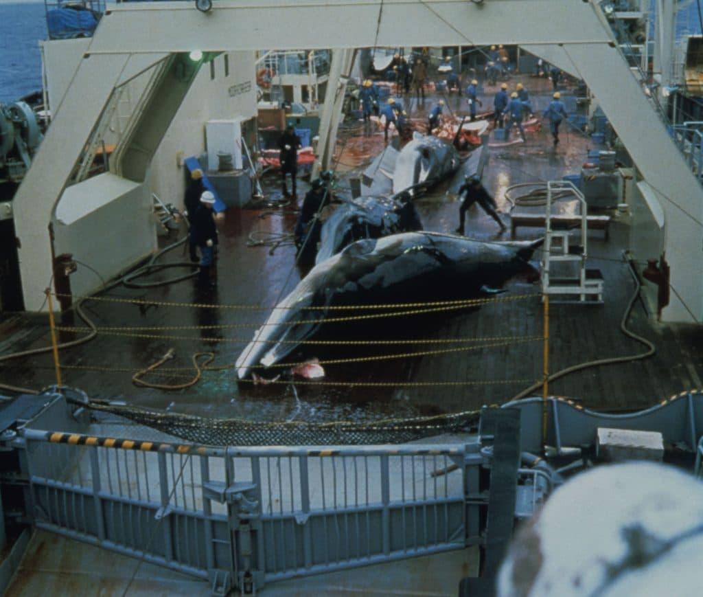Minke whales on Japanese factory ship