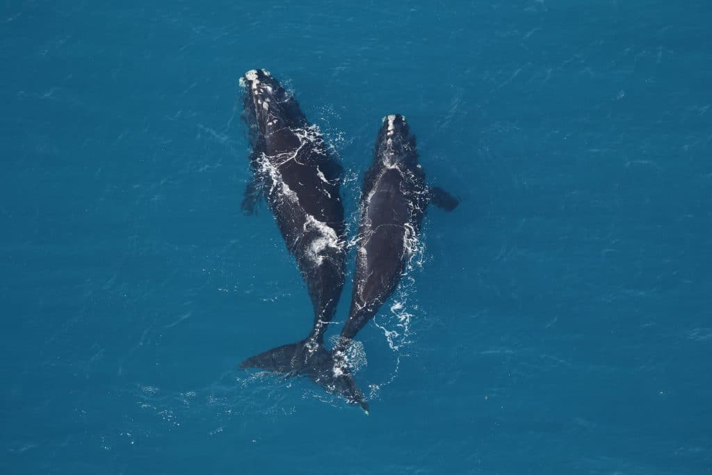 Only around 360 North Atlantic right whales remain © Sea to Shore Alliance, taken under NOAA research permit 20556