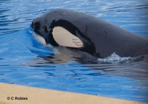 Wild orca Morgan's shocking new wounds at Loro Parque