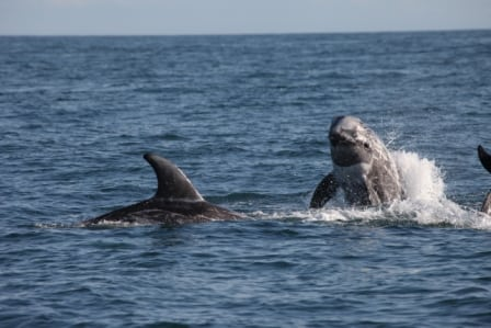 Risso's dolphin group