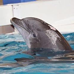 captive dolphin