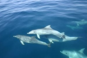 Antibiotic resistance in dolphins mirrors trend seen in humans