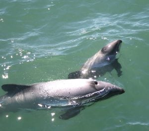 WDC launches new app to record endangered dolphin sightings in New Zealand