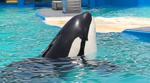 Scientists question court decision over orca Lolita's captivity