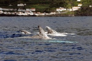 What Risso's dolphins in the Azores can teach us