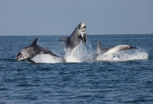 Risso's dolphins in North Wales – Bardsey fieldwork 2014
