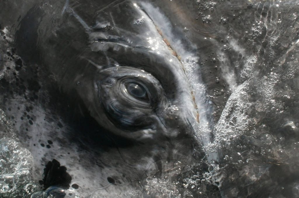 gray_whale_eye_baja