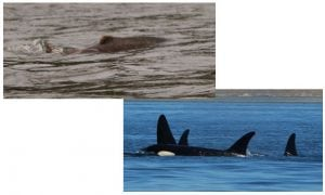 Legislation to kill sea lions signed into law
