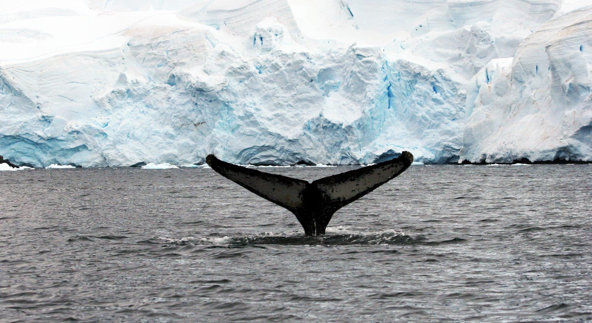 humpback_fluke_0