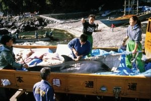 World zoo organisation accused of links to brutal Japanese dolphin hunts
