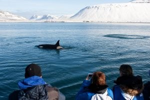 Visiting Iceland? How to ensure whales are saved and not served up
