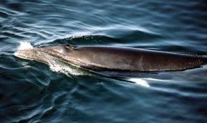 Whalers in Japan kill 35 minke whales