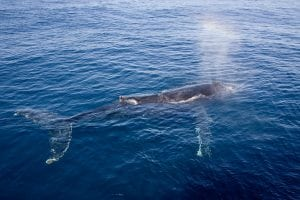 Record number of whales entangled on US west coast