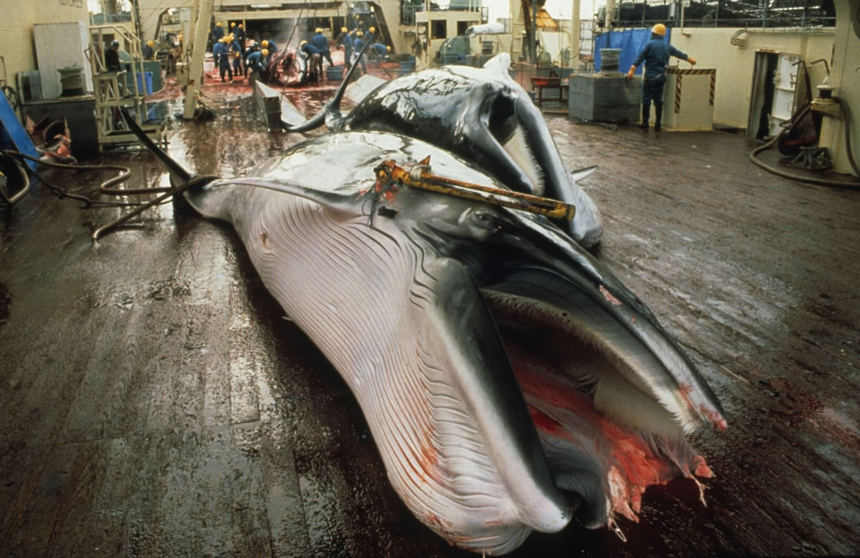 Japanese whaling ships leave ports to hunt for whales
