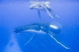 Whales use underwater mountains as meeting points