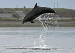 Globe-trotting dolphins – what's going on?