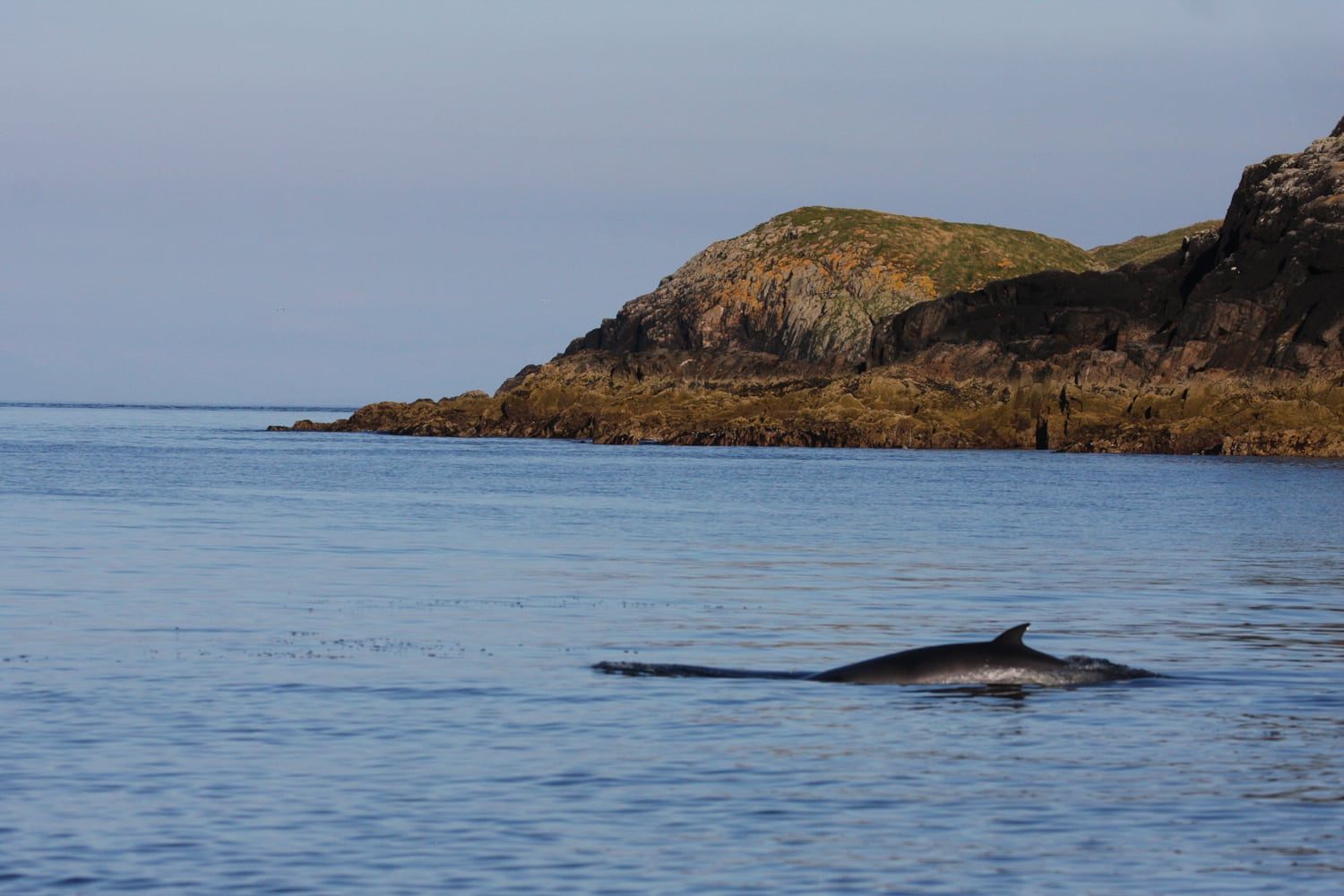 Minke whale in Scottish waters
