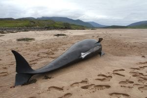 Over 100 pilot whales die after stranding in New Zealand