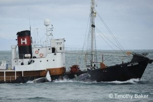 New survey shows another fall in local support for whale hunting in Iceland