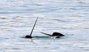 Narwhals and Bowhead whales threatened by new Arctic shipping routes