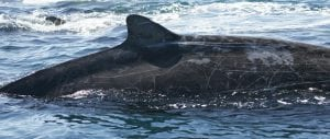 Have scientists discovered a new species of whale?