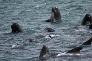 Research reveals pilot whales babysit young of other whales