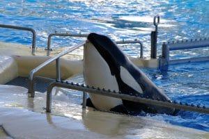 Norwegian orca Morgan gives birth at Loro Parque