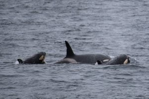 Noise pollution chronically stresses whales and dolphins