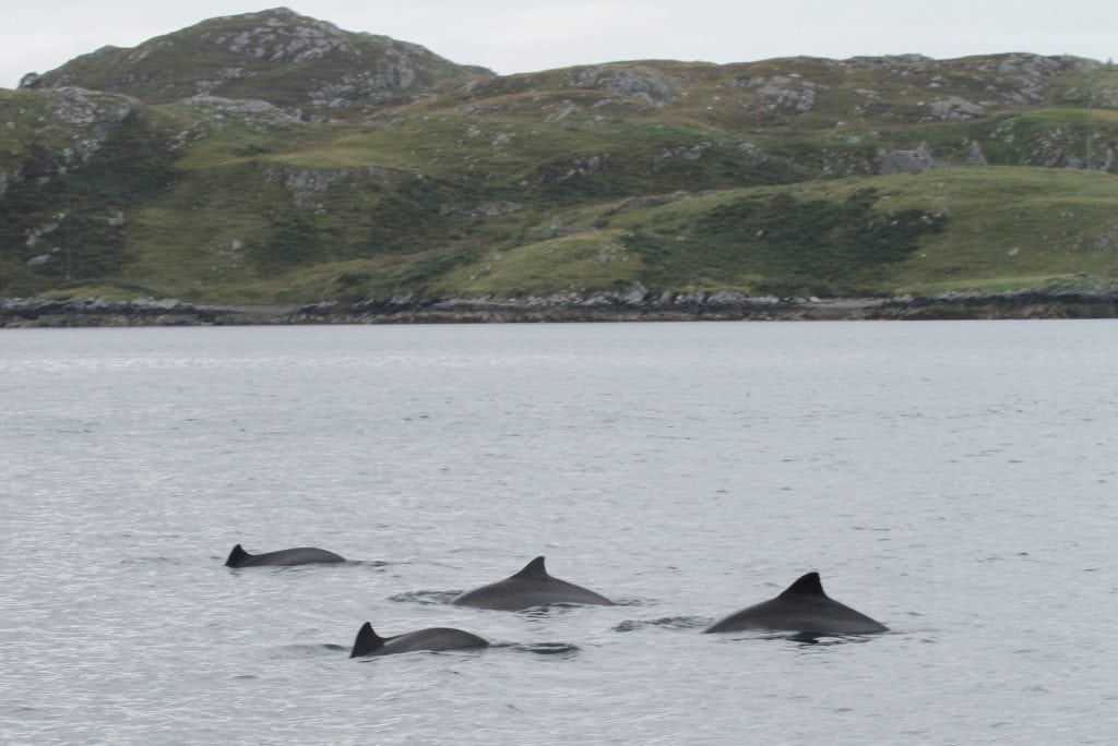 A group of harbour porpoises off the coast of Scotland