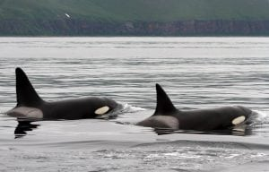 Wild orcas to be captured in Russia again