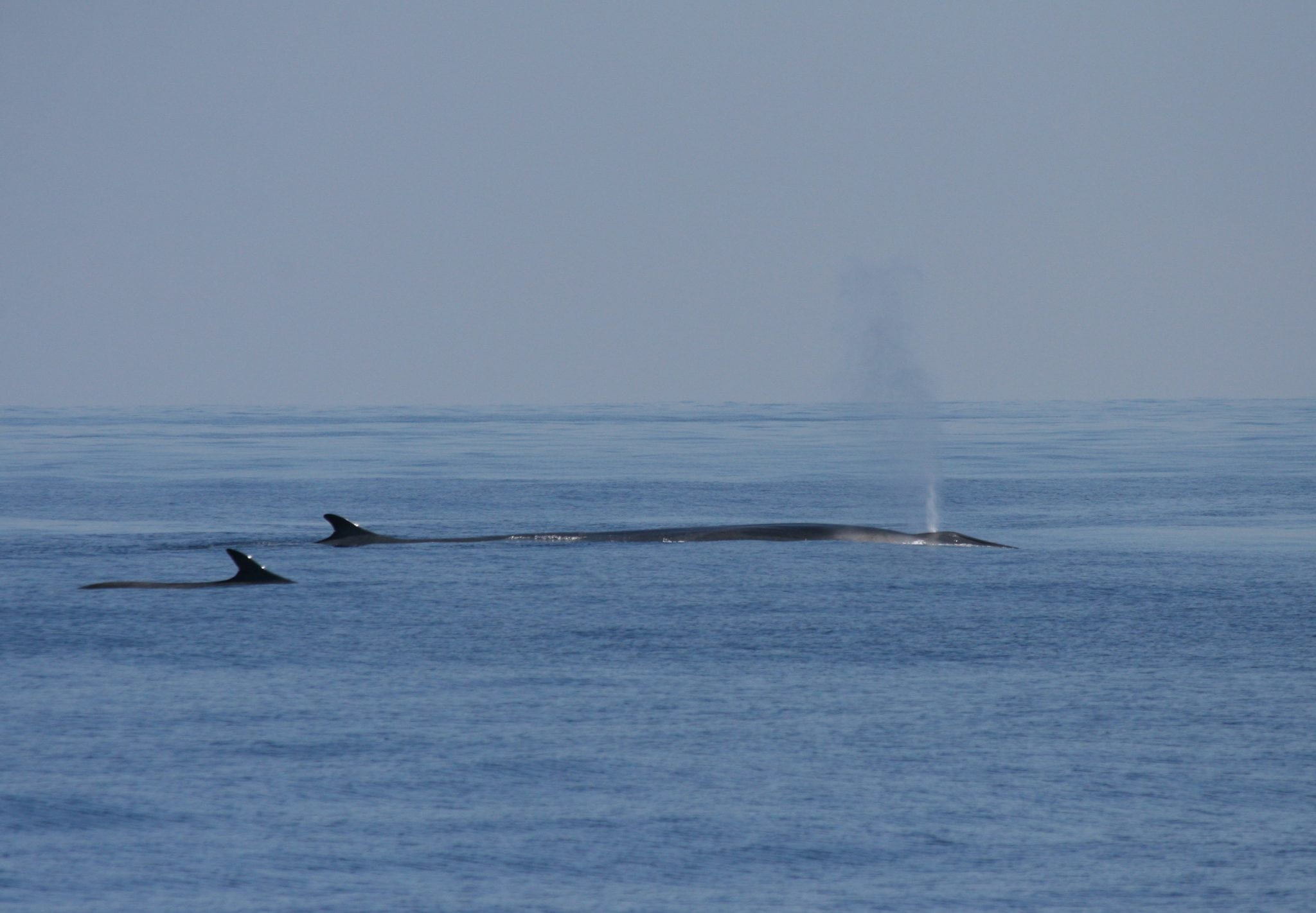 Majestic fin whales