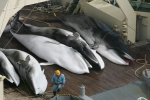 Japanese government in new plot to end international ban on commercial whale hunting