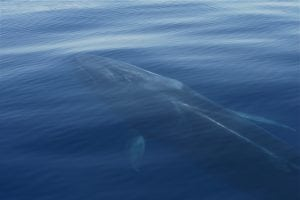 Early whales hearing similar to land animals