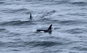 Record breaker Riptide the orca swims from Iceland to Lebanon
