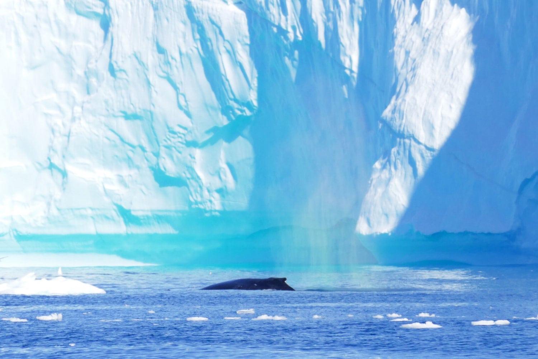 Whaletrips: Zu Besuch bei den Walen Grönlands