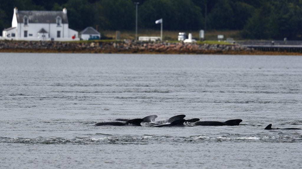 Pilot whales rescued after stranding in Scotland