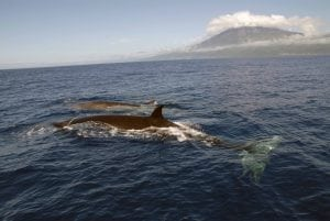International wildlife convention decision could lead to more endangered whale deaths