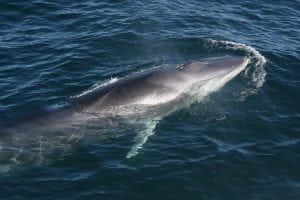 Study suggests whales are ingesting microplastics in alarming quantities