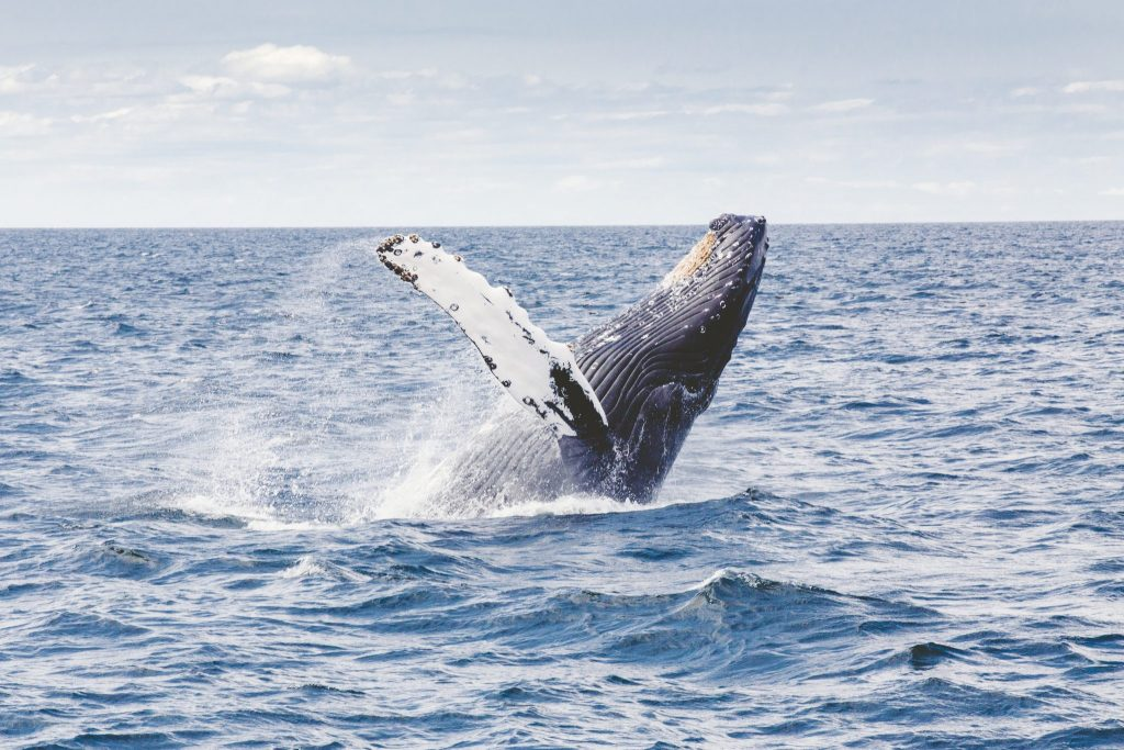 Scientists discover new humpback whale feeding technique