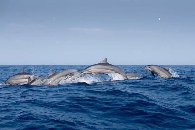 Spinner dolphins in Sri Lanka © Andrew Sutton